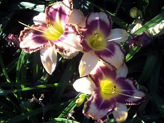 Лилейник - цветок одного дня 99 (700x525, 114Kb)