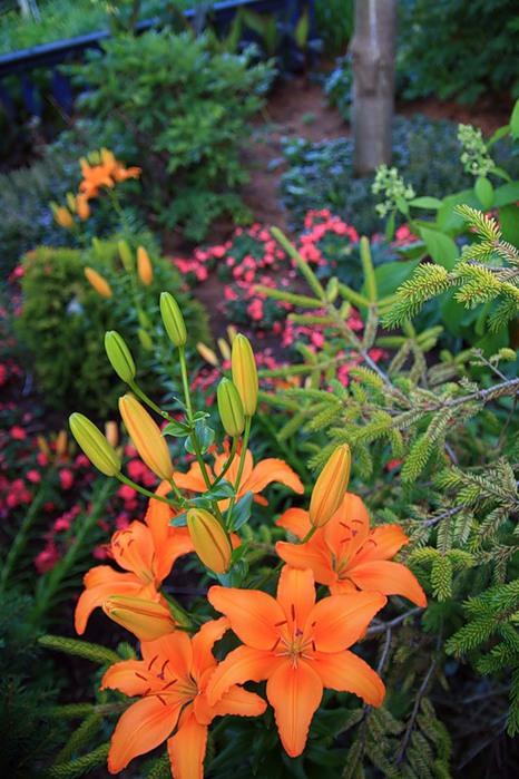 Лилейник - цветок одного дня 106 (466x700, 111Kb)