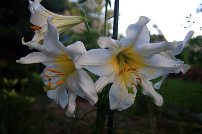 Лилейник - цветок одного дня 116 (700x466, 61Kb)