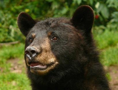Бурый медведь  Барибал 1 (410x314, 44Kb)