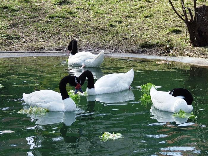 лебеди (700x525, 173Kb)