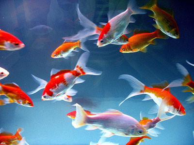 gold-fish (400x300, 34Kb)