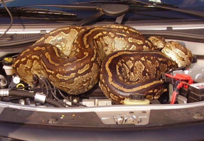 питон под капотом авто (700x485, 73Kb)