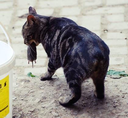 породы котов 15 (420x388, 31Kb)