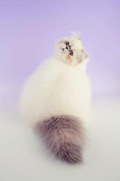 породы котов 17 (399x600, 12Kb)