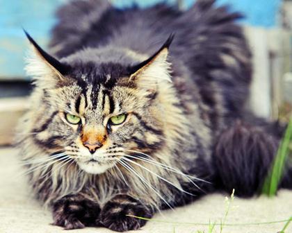 породы котов 19 (420x336, 26Kb)