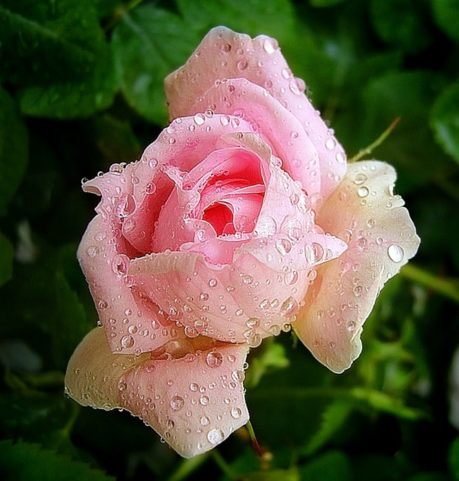 розовая (667x700, 130Kb)