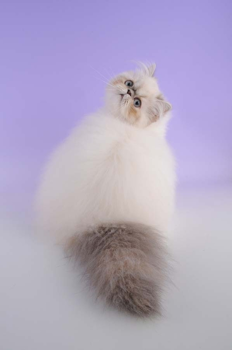 Top-10-Pedigreed-Cat-Breeds-5 (465x700, 75Kb)