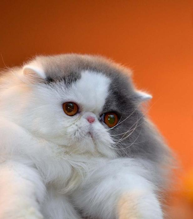 Top-10-Pedigreed-Cat-Breeds-9 (616x700, 193Kb)