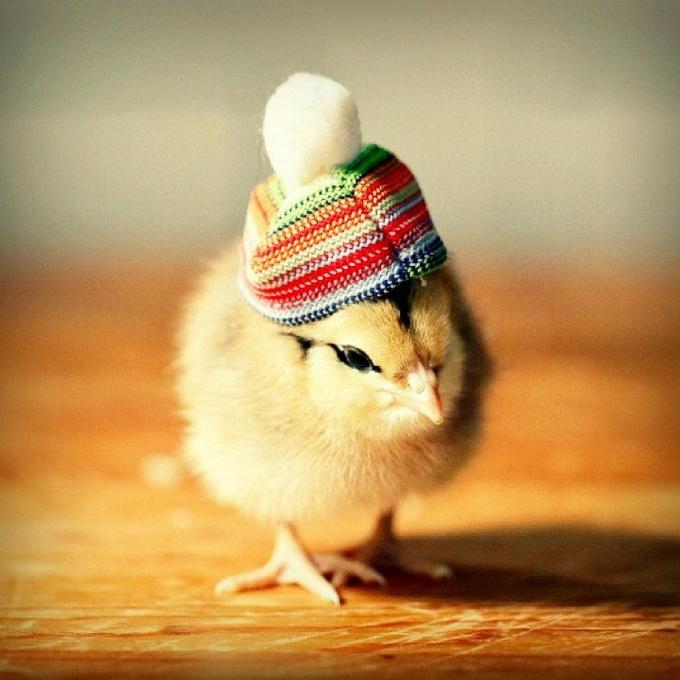 смешные фото цыплят (680x680, 124Kb)