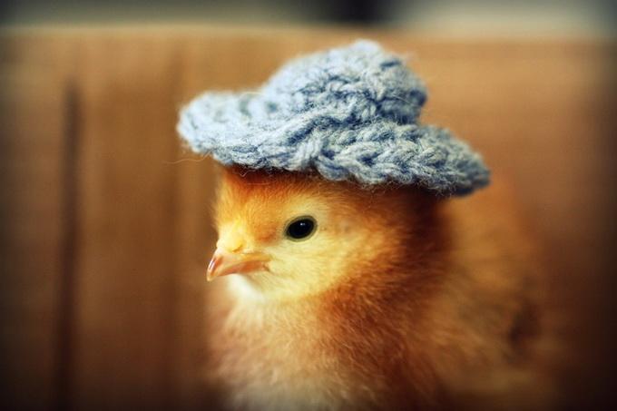 смешные фото цыплят 3 (680x453, 74Kb)