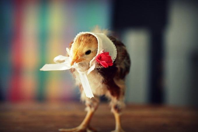 смешные фото цыплят 8 (680x454, 64Kb)