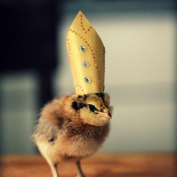 смешные фото цыплят 9 (680x680, 108Kb)