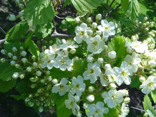 3646178_crataegus_submollis (500x375, 41Kb)