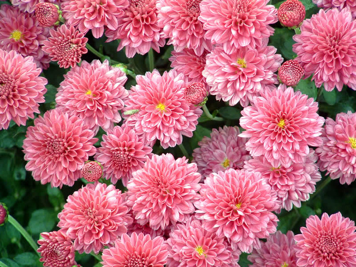 4216969_chrysanthemum_1 (700x525, 231Kb)