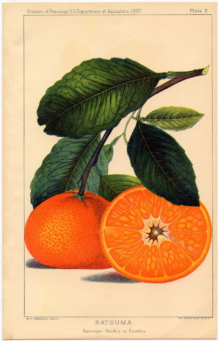 Botanical-Oranges-vintage-Graphics-Fairysm (449x700, 252Kb)