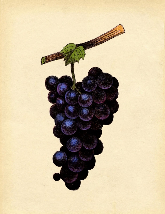 grapes-purple-graphicsfairysm (540x700, 243Kb)