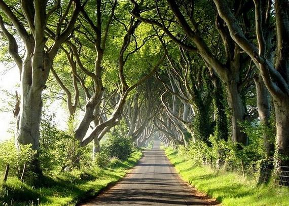 Древесный туннель в Ирландии1 (570x406, 255Kb)