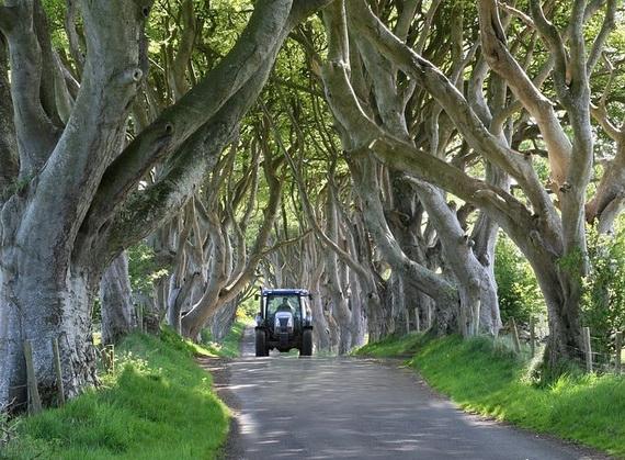 Древесный туннель в Ирландии7 (570x419, 229Kb)