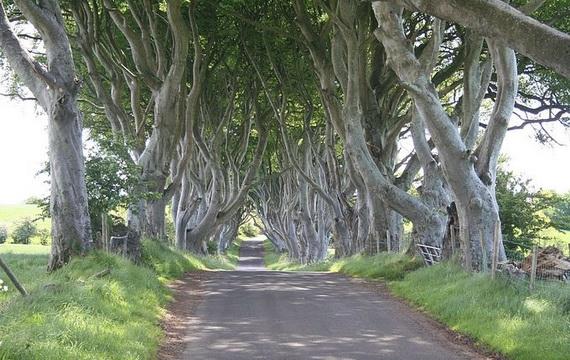 Древесный туннель в Ирландии9 (570x360, 189Kb)