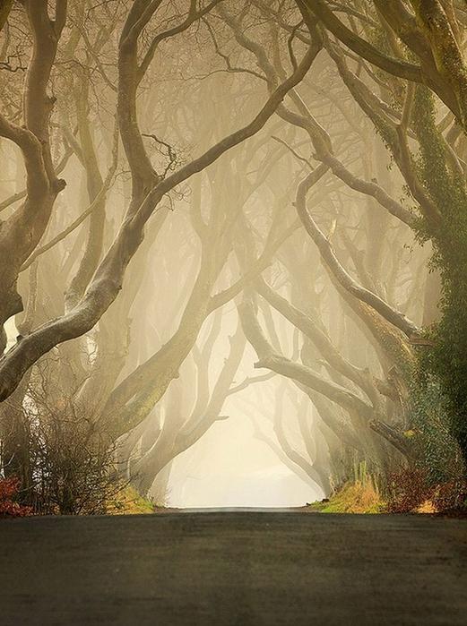 Древесный туннель в Ирландии12 (521x700, 255Kb)