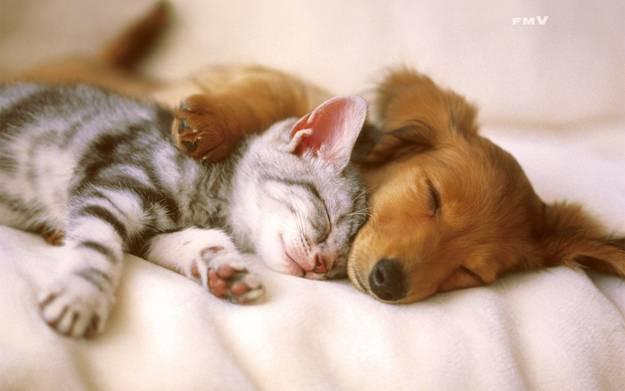 кошка и собака 8 (625x391, 25Kb)