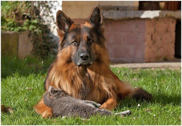 кошка и собака 13 (640x444, 62Kb)
