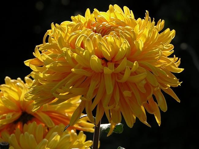 В том саду, где мы с вами встретились, Ваш любимый куст хризантем расцвел, И в моей груди расцвело тогда Чувство...
