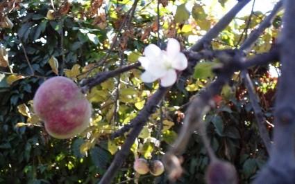 Алма-Ата - цветение яблони в сентябре 1 (425x266, 45Kb)