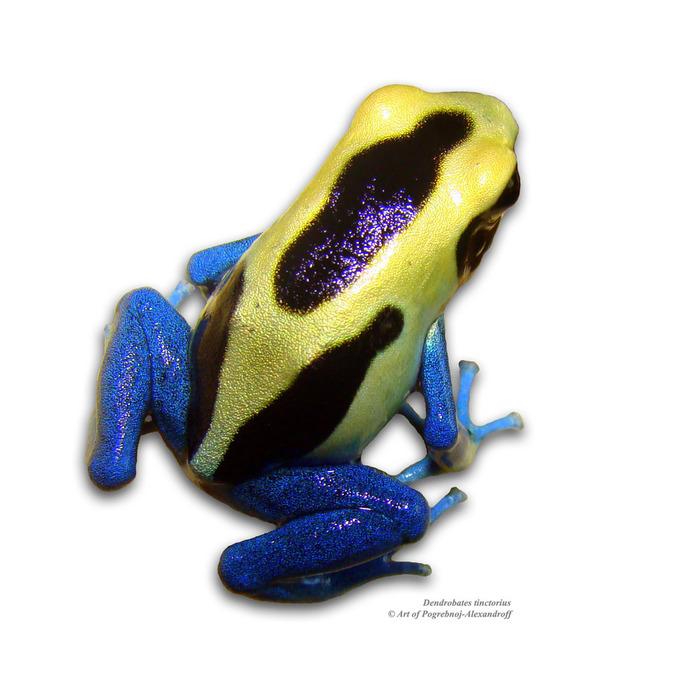 DSC04230a (700x700, 113Kb) Древолаз Dendrobates tinctorius Patricia photo-art by Pogrebnoj-Alexandroff