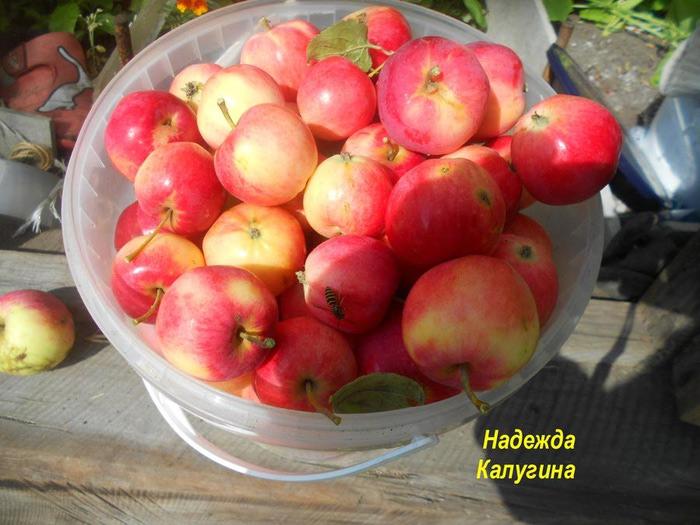 урожай яблок (700x525, 108Kb)