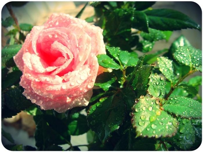 роза (700x525, 322Kb)