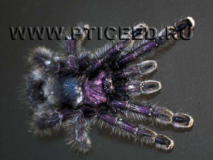 avicularia purpurea вз (700x525, 227Kb)