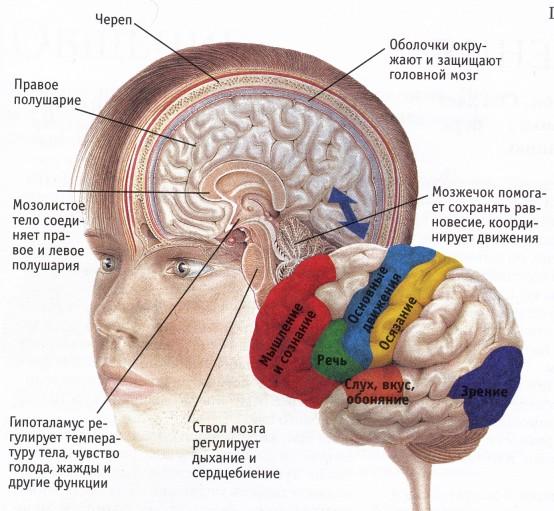головной мозг. (554x511, 101Kb)