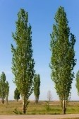 9288952-high-green-spring-poplars-on-a-roadside (112x168, 8Kb)