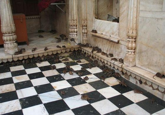 karni mata temple7 (560x389, 45Kb)