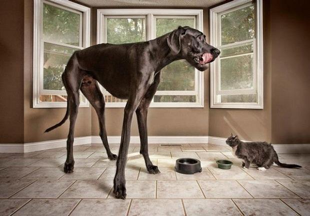 дог зевс огромный пес фото/3185107_samaya_bolshaya_sobaka_v_mire_dog_zevs (620x433, 99Kb)