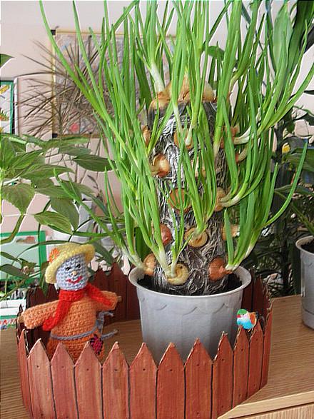 Выращиваем лук на подоконнике красиво