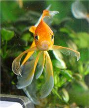 Конкурс красоты золотых рыбок