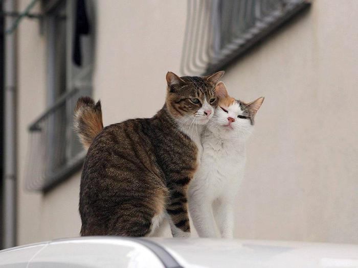 коты (700x525, 36Kb)