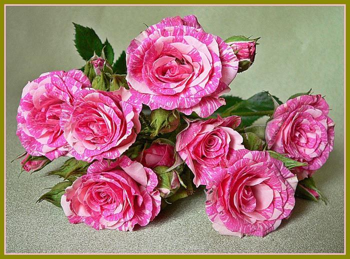 По археологическим данным роза существует на Земле уже около 25 млн. лет, а в культуре выращивается уже более 5000...