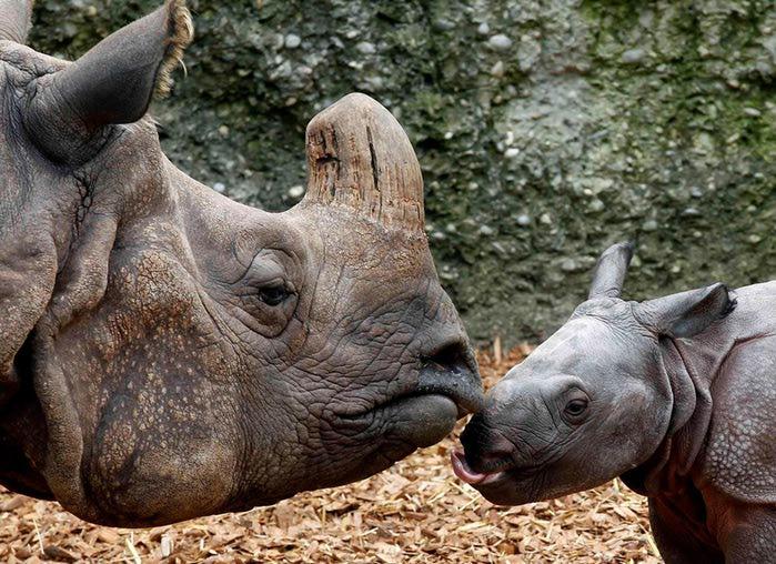 Новорожденный носорог в зоопарке Базеля