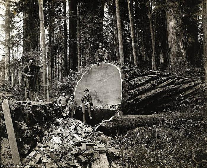 старые фотографии вырубка гигантских секвой (700x570, 225Kb)