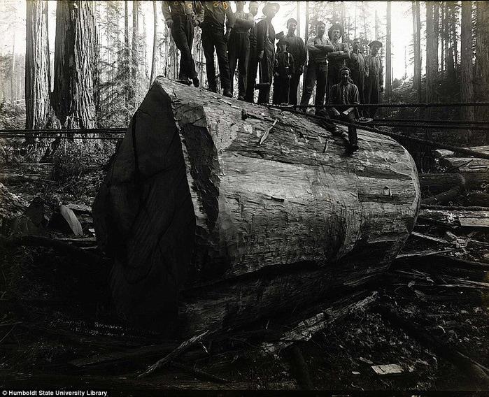 старые фотографии вырубка гигантских секвой 3 (700x568, 166Kb)