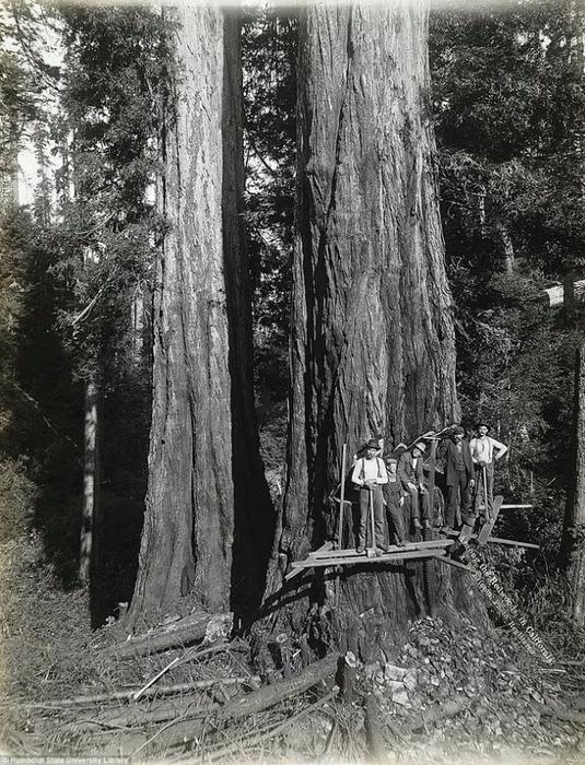 старые фотографии вырубка гигантских секвой 5 (535x700, 326Kb)