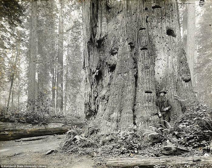 старые фотографии вырубка гигантских секвой 7 (700x556, 225Kb)