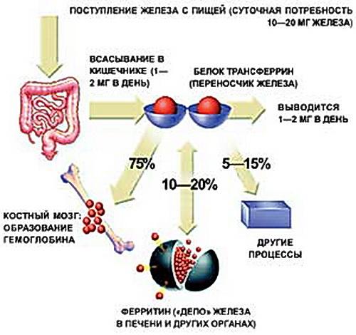 Обмен железа в организме.