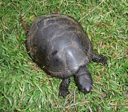 черепаха (500x438, 119Kb)