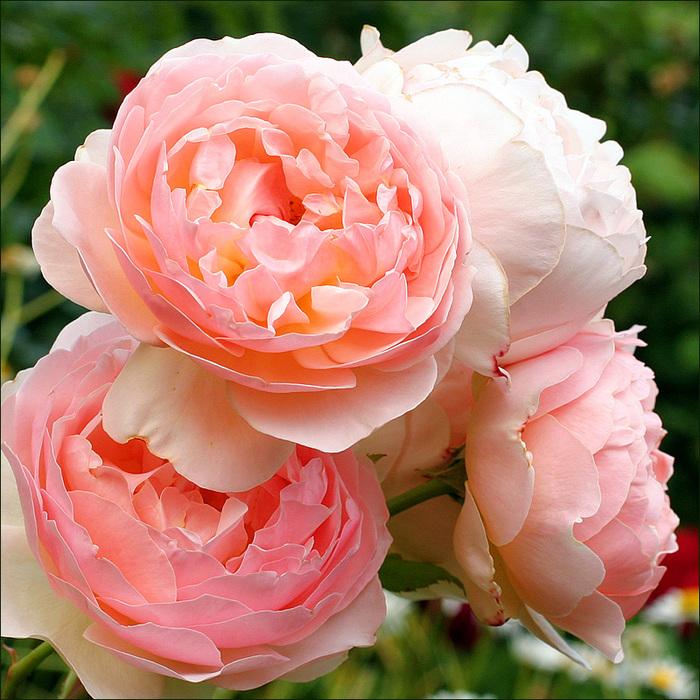 """Посмотрите, какие стильные букеты получаются из роз  """"Дэвид Остин """"!"""