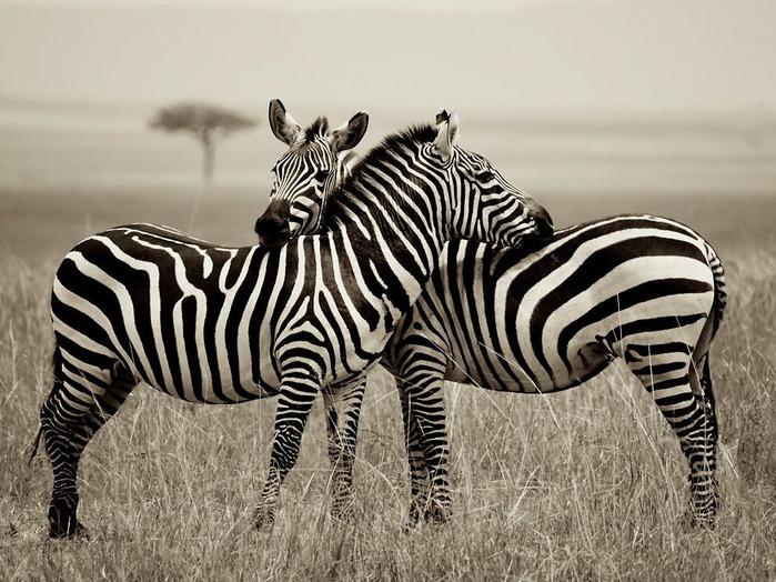 животные в фотографиях National Geographic 16 (700x524, 152Kb)